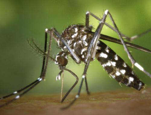 """""""Aedes Albopictus""""   Mosquito Tigre"""